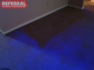 Carpet - Carpet glows, except where sofa was, under a black light from do it yourself cleaning chemicals with optical brighteners